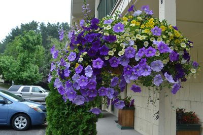 Blueberry Lemon Pie  Hanging Basket (c5)